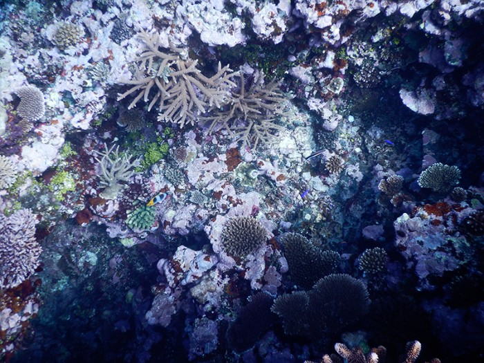 A small sample of the coral diversity on Nagigi Village's outer reef. Photo: Elora López CC'15