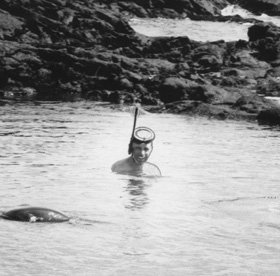 A territorial bull sea lion chases away Perlman, who had been snorkeling in a bay off Fernandina Island, Galapagos, in 1964. Photo: Courtesy  David Perlman '39