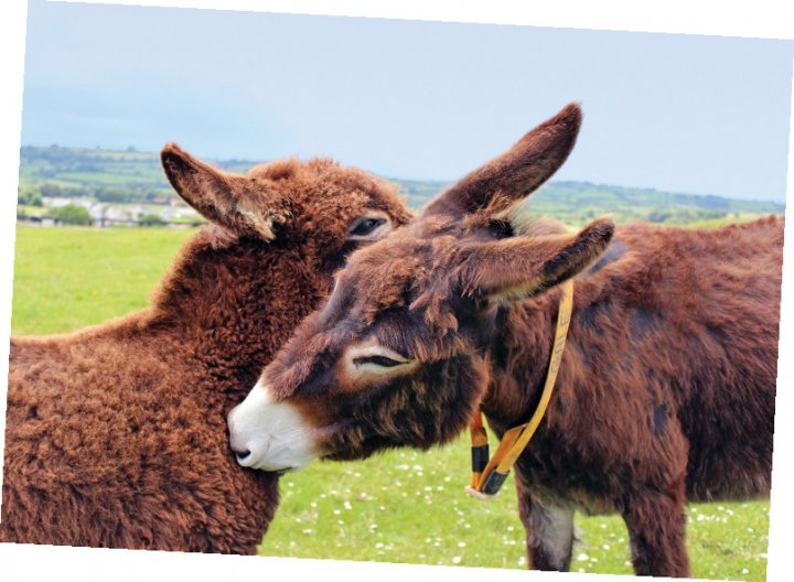 Two fuzzy brown donkeys nuzzling each other