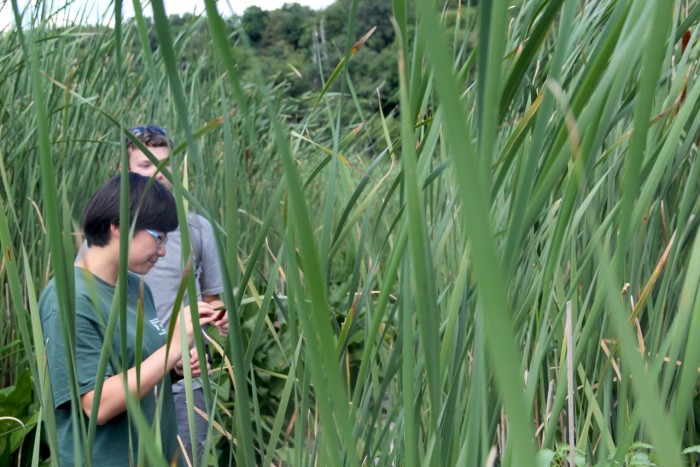 Tianjia Liu CC'17 collects plant samples at Constitution Marsh. Photo: Jonathan Nichols